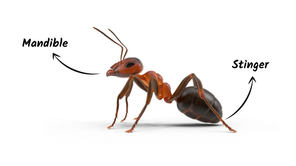 Ant Bites vs. Ant Stings What Is the Difference
