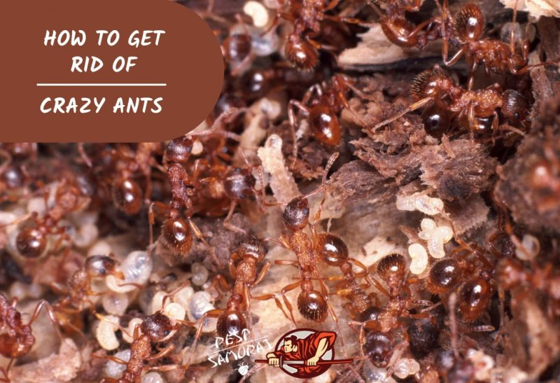 Crazy Ants How to Get Rid of Crazy Ants
