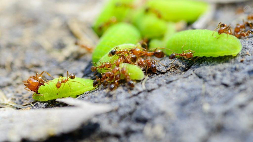 Fire Ant Bites Red Ant Bites