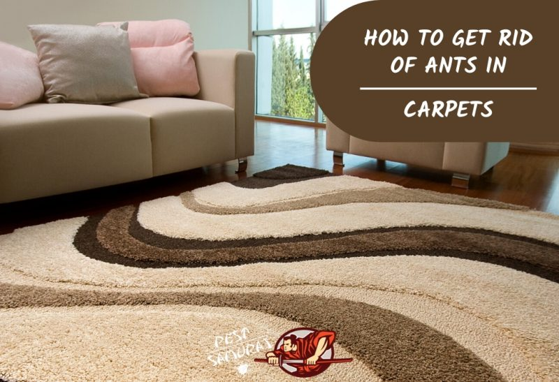 Ants in Carpet How to Get Rid of Ants in Carpets
