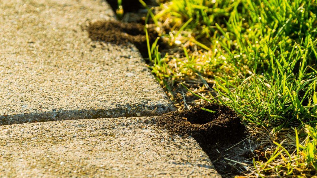 Do Ants Kill Lawns
