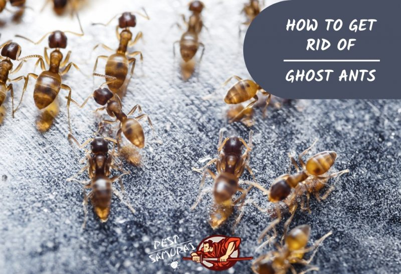 Ghost Ants How to Get Rid of Ghost Ants