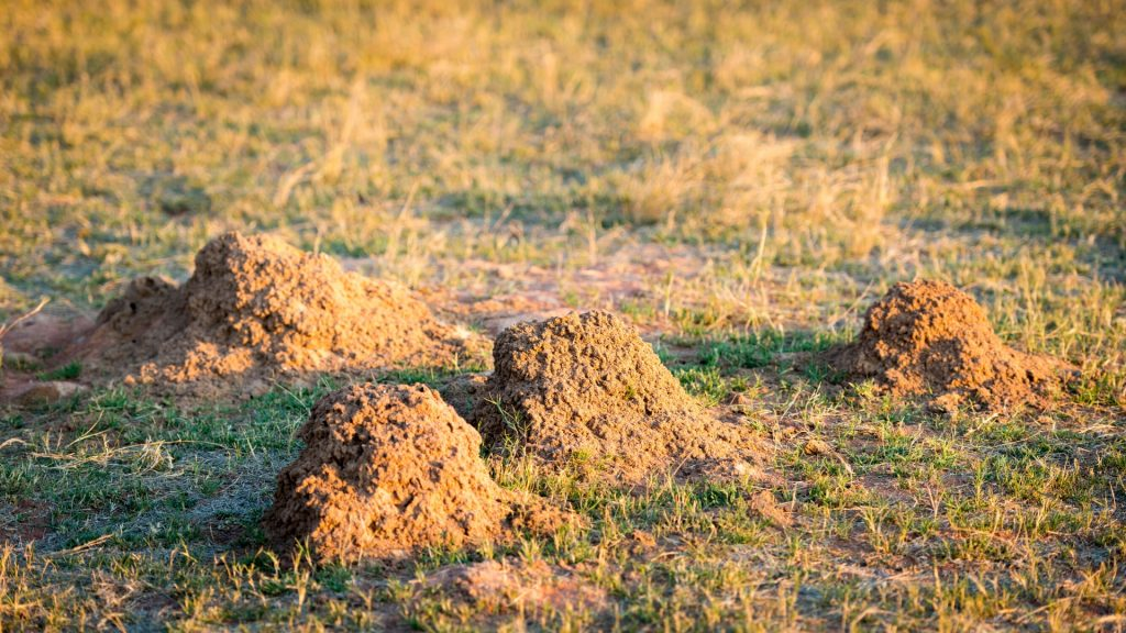 Tiny Ant Hills All Over Lawn