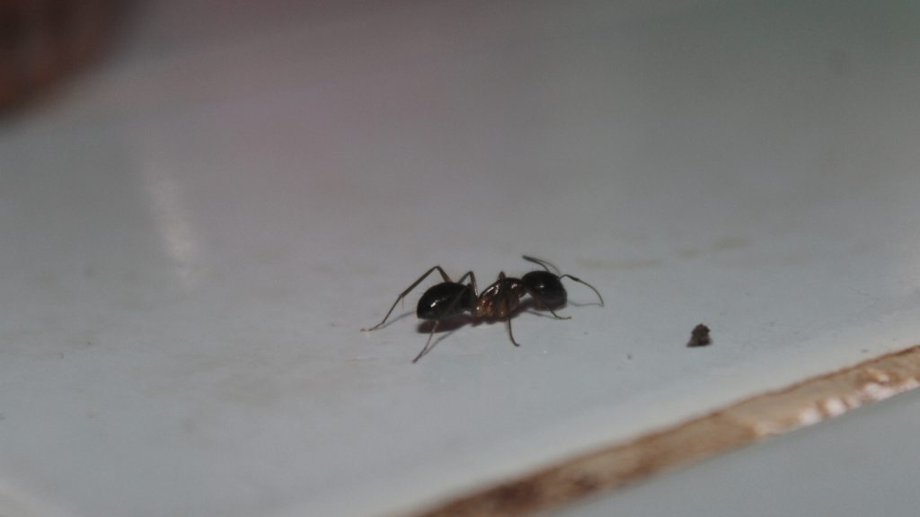 How To Get Rid Of Ants In Bedroom A Complete Guide Pest Samurai