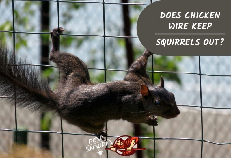 Does Chicken Wire Keep Squirrels Out of Gardens
