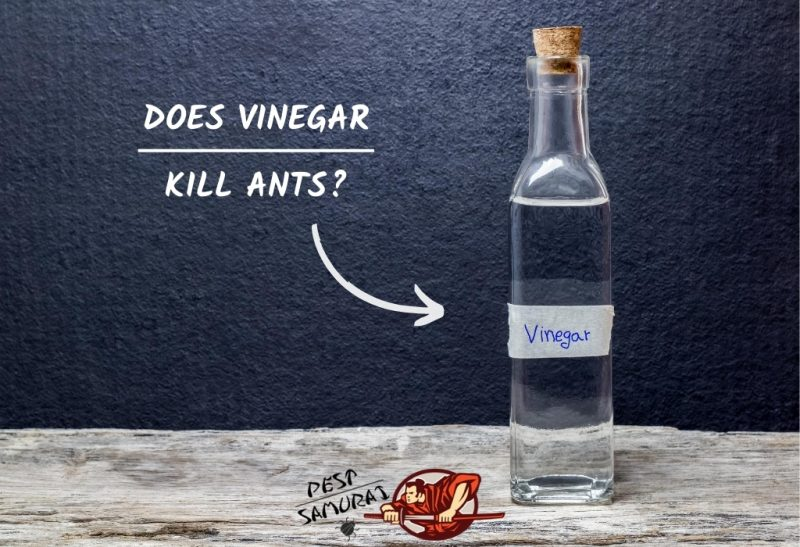 Does Vinegar Kill Ants