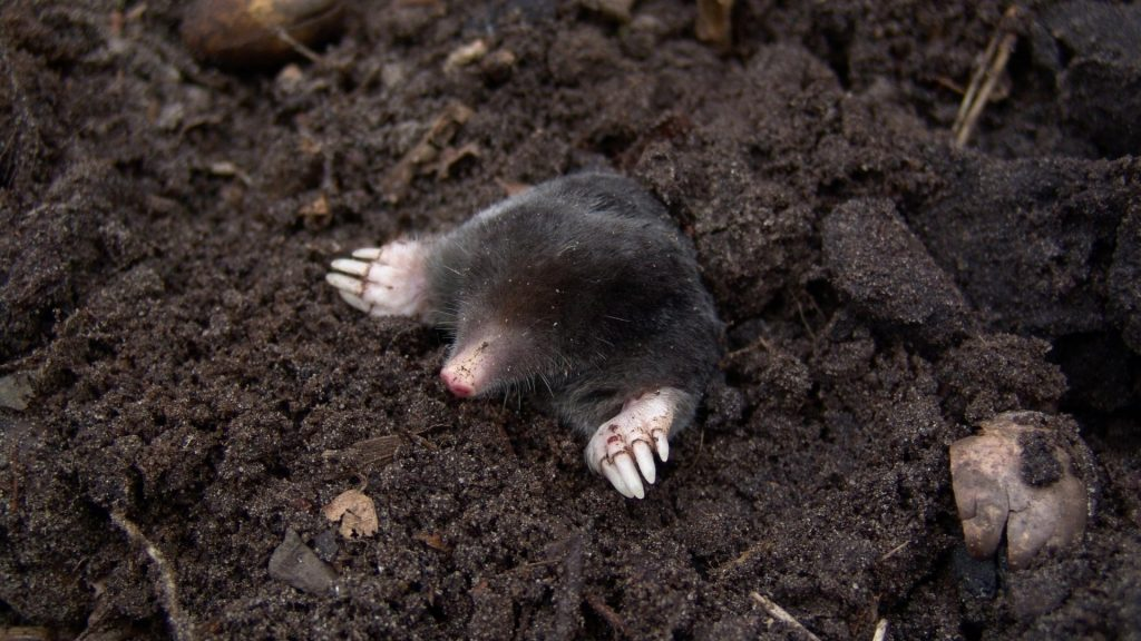 Interesting Facts About Moles