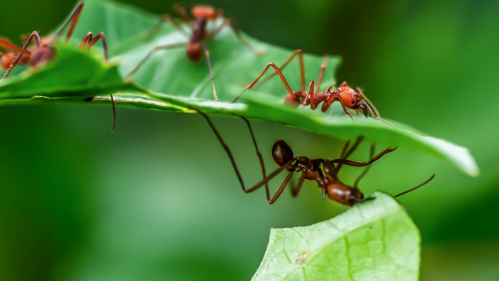 What Do Leaf Cutter Ants Look Like