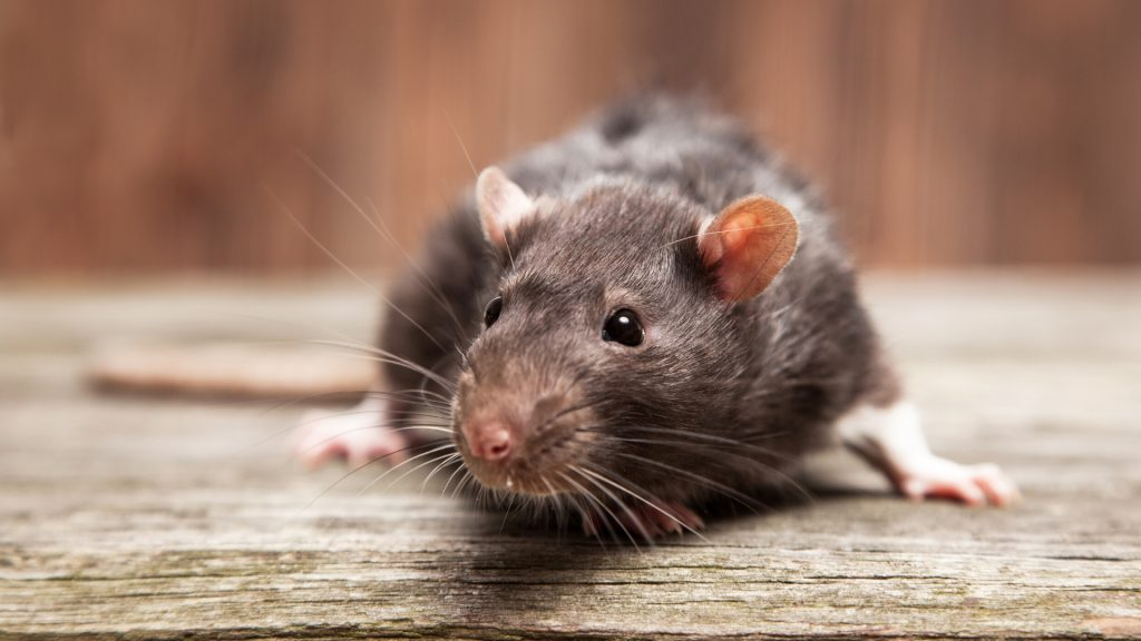 What Scented Candle Repels Mice