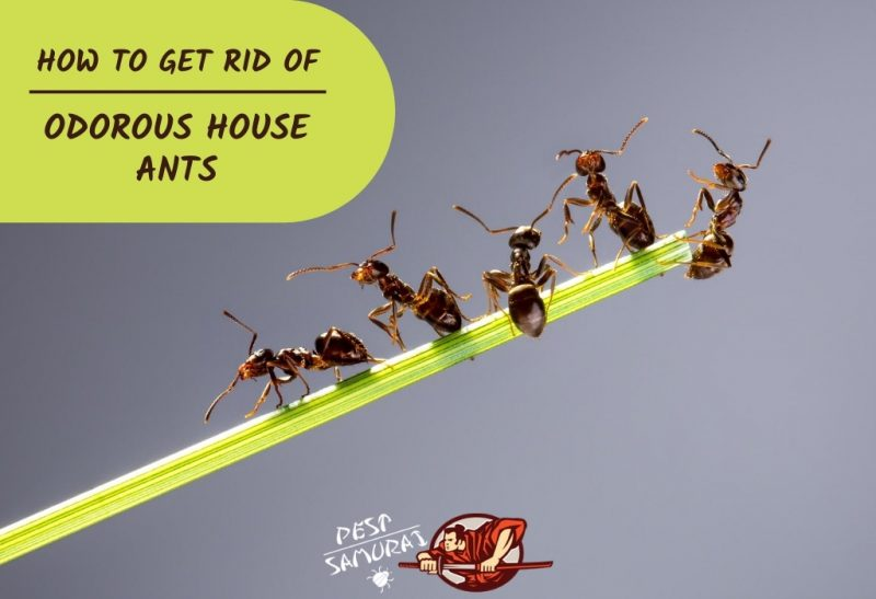 How to Get Rid of Odorous House Ants.