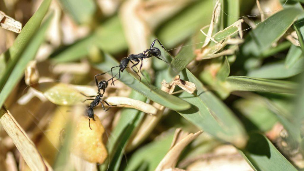 Ants in Vegetable Garden