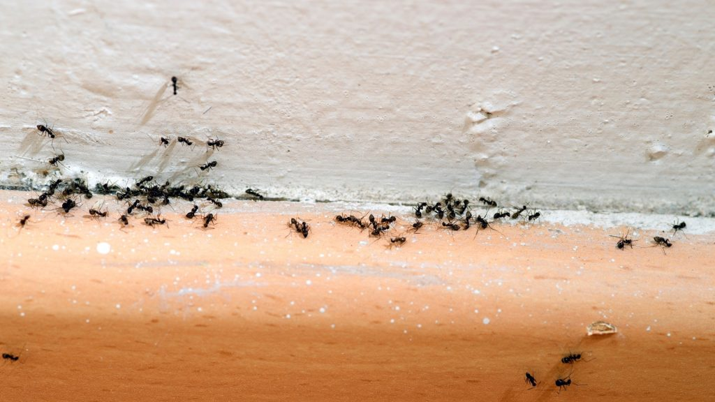 Can Essential Oils Kill Ants