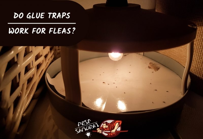 Do Glue Traps Work for Fleas