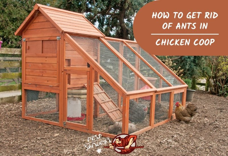 How to Get Rid of Ants in a Chicken Coop