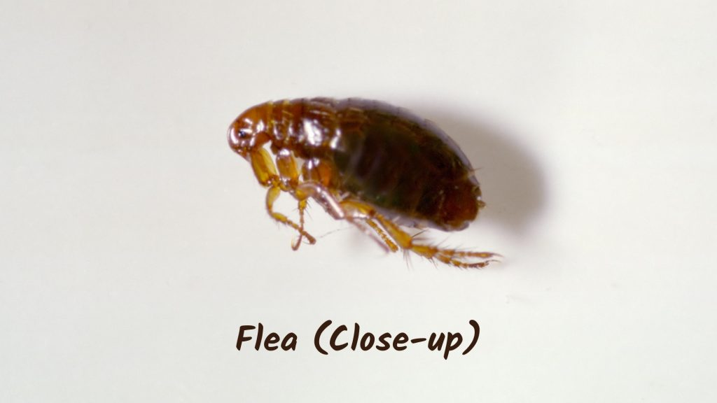 What Attracts Fleas and Why