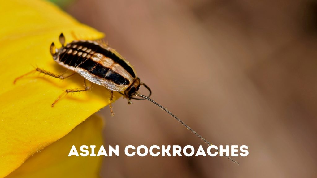 Asian Cockroaches