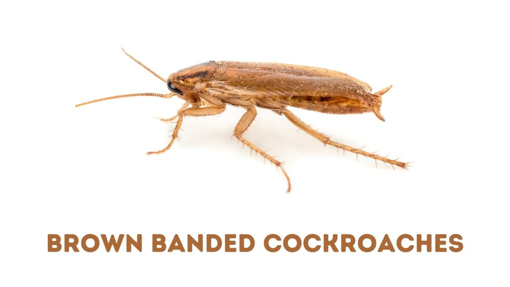 Brown-Banded Cockroaches