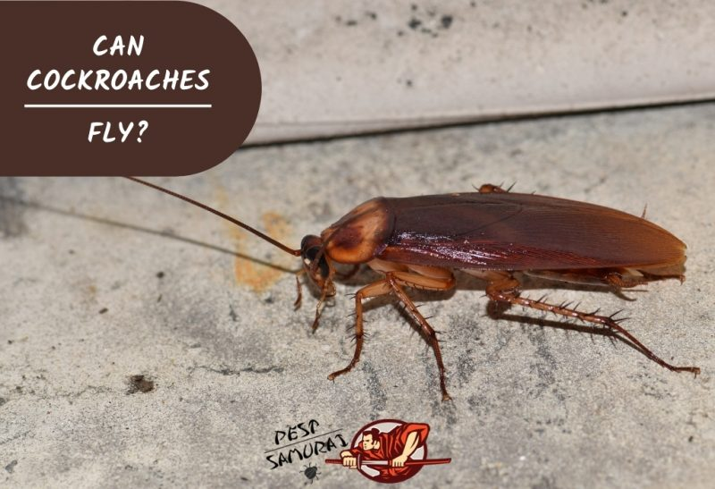 Can Cockroaches Fly