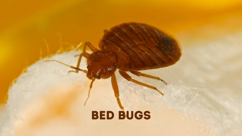 Cockroaches vs. Bed Bugs