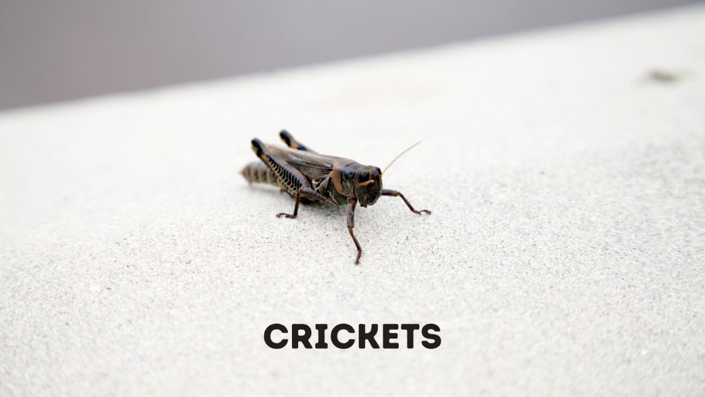 Cockroaches vs. Crickets