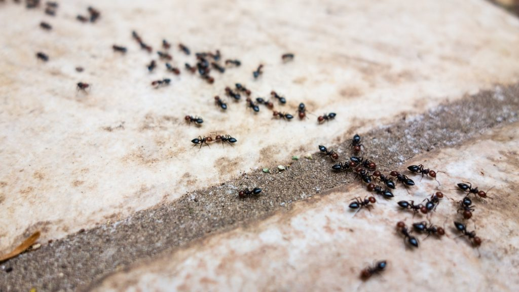 How To Get Rid Of Ants With Borax A Complete Guide Pest Samurai