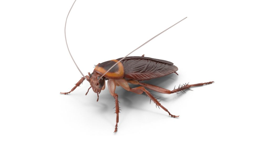 What Does a Flying Cockroach Look Like