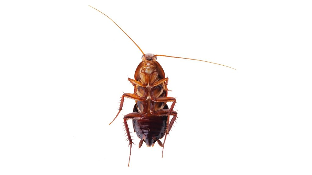 Do Cockroaches Make a Noise When They Die