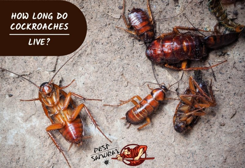 How Long Do Cockroaches Live