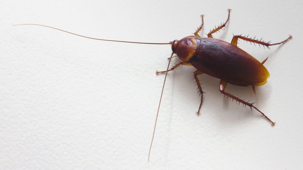 How Long Have Cockroaches Lived on Earth