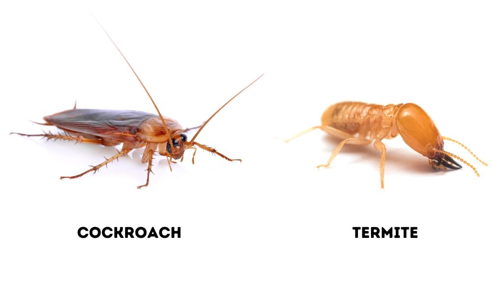 Cockroaches and termites