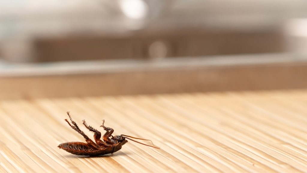 Do Cockroaches Live in the Kitchen