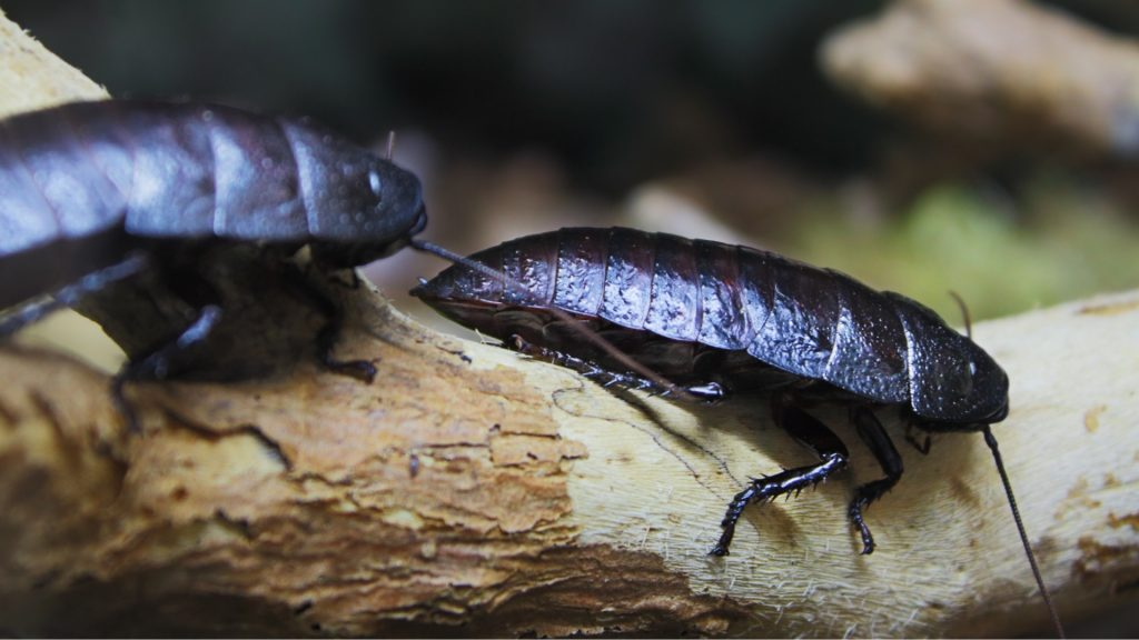 Specific Types of Cockroaches and Where Do They Live