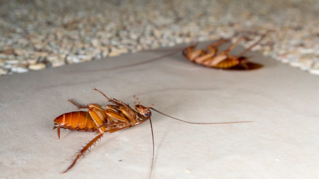 Cockroaches in Kitchen