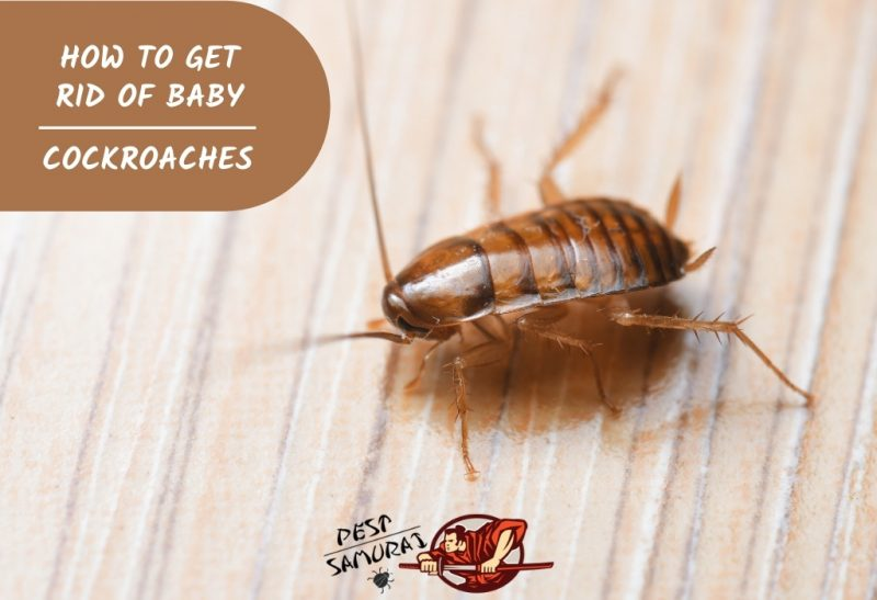 How To Get Rid Of Baby Cockroaches Information And Facts Pest Samurai