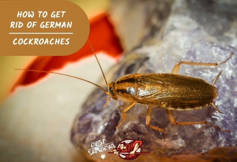 How to Get Rid of German Cockroaches.