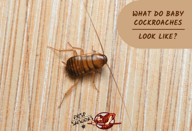 What Do Baby Cockroaches Look Like