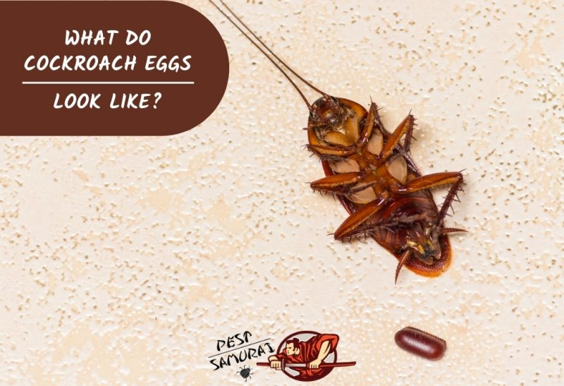What Do Cockroach Eggs Look Like