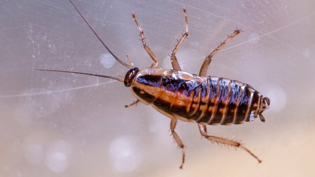 What Does a German Cockroach Look Like