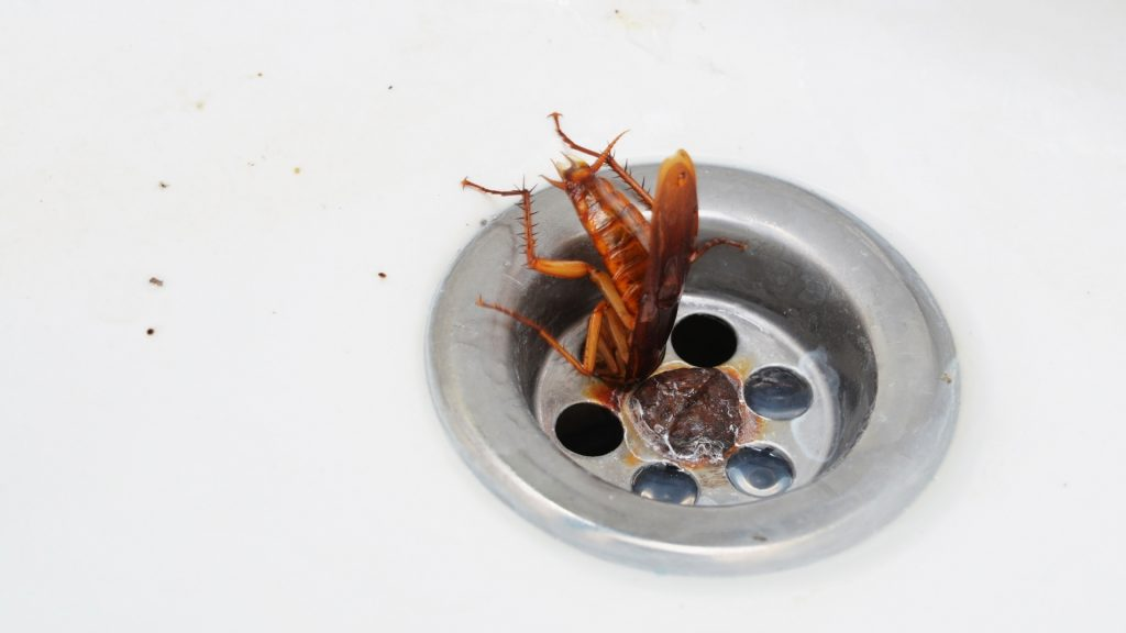 Can Cockroaches Come Through the Drain