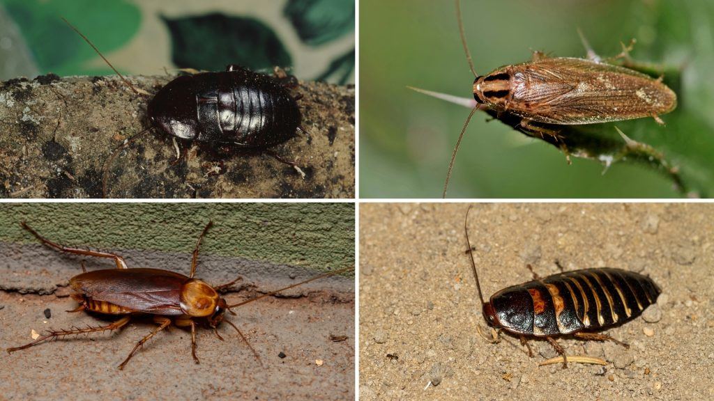 How Do Specific Cockroach Species Smell Like