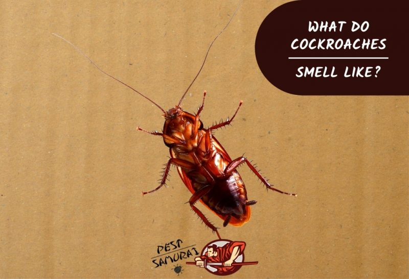 What Do Cockroaches Smell Like