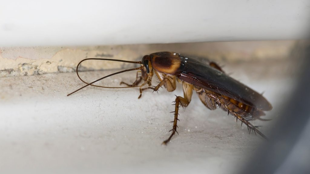 When Do Cockroaches Come Out of Hibernation