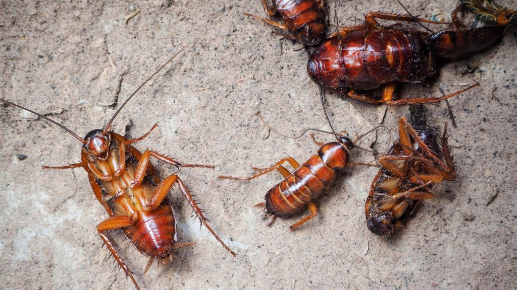 Cockroach Description How to Identify a Cockroach