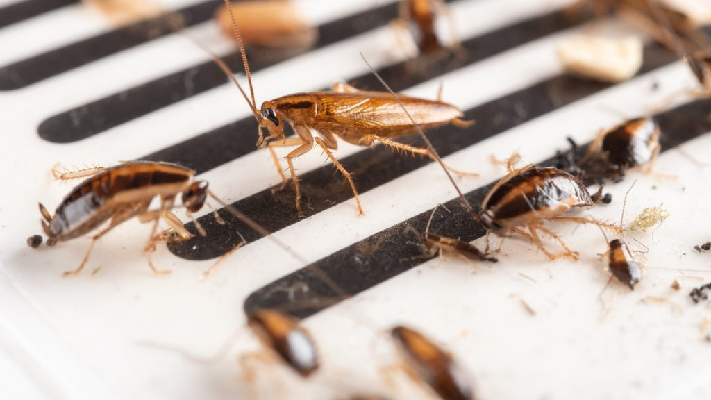 What are Signs of Cockroach Infestation