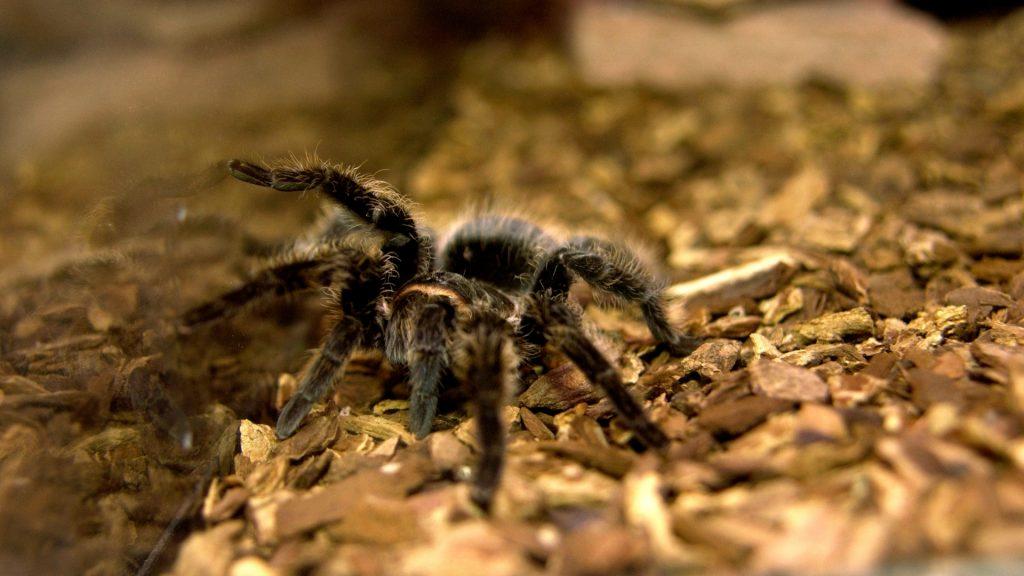 Are Tarantulas True Spiders