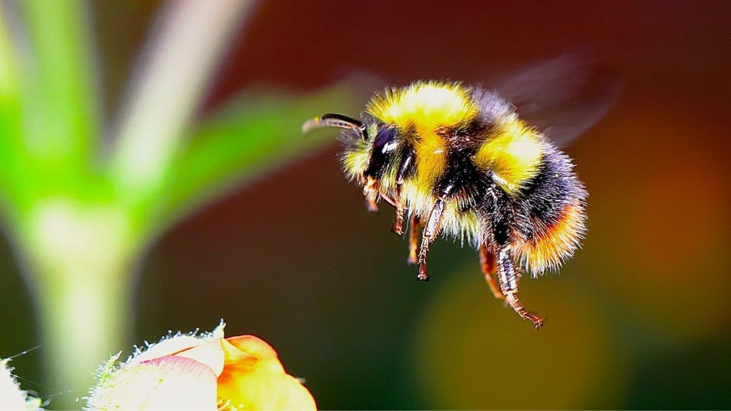Bumblebee Identification
