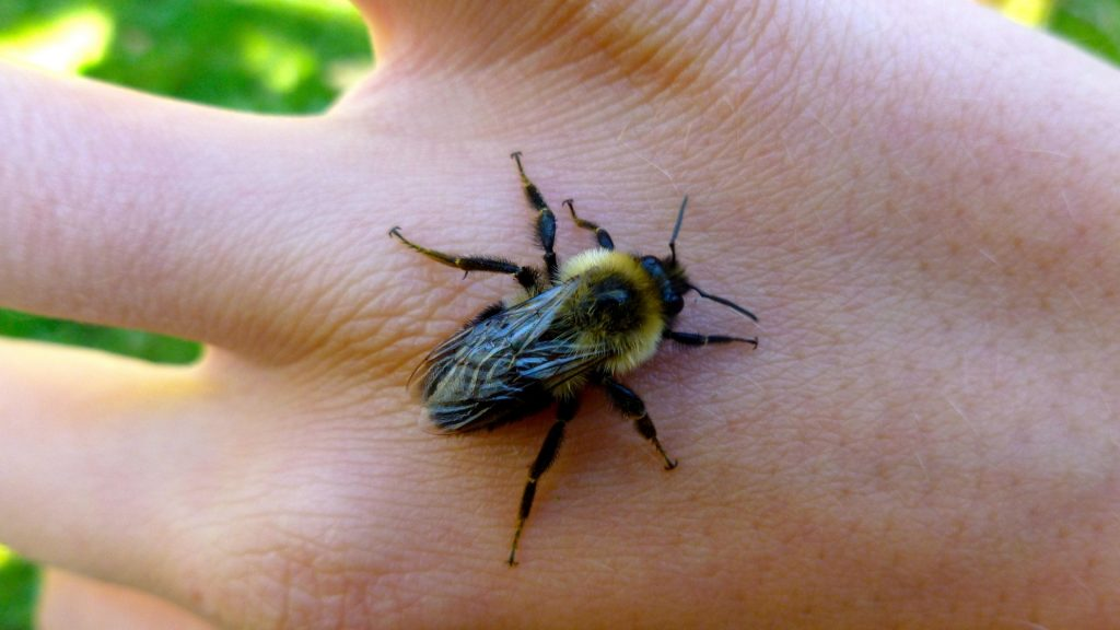 Bumblebee Insect Sting