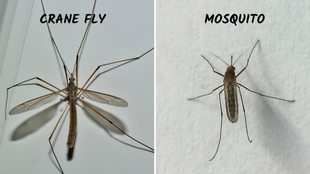 Difference Between Mosquito and Mosquito Eater (Crane Fly)