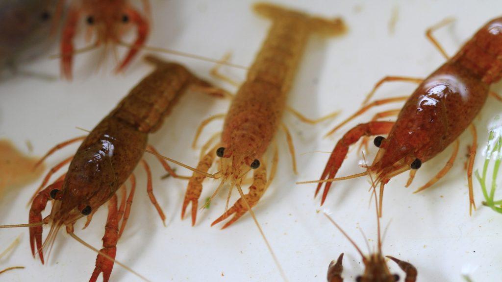 How Big Is a Shrimp