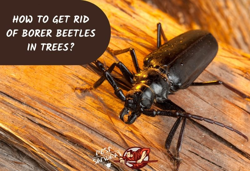 How To Get Rid of Borer Beetles in Trees